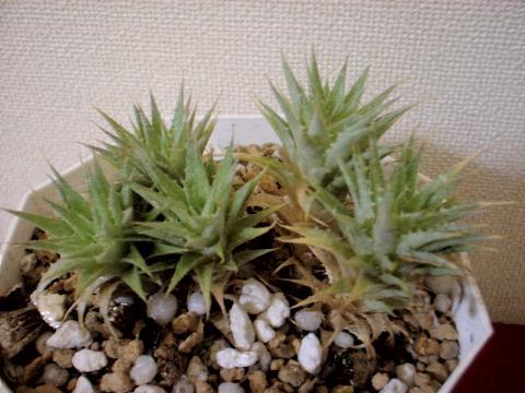Abromeitiella chlorantha