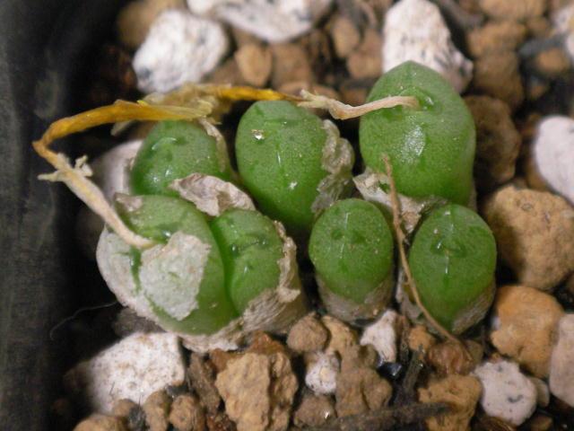 Conophytum ectipum