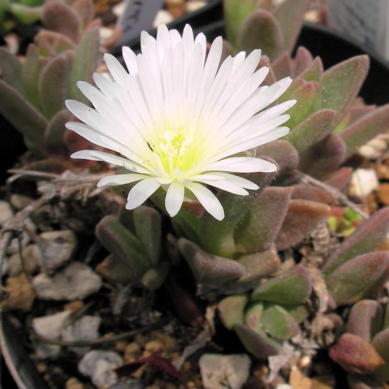 Delosperma sutherlandii white flower