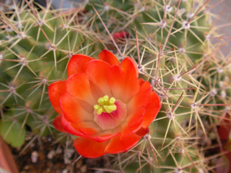 Echinocereus octacanthus flower
