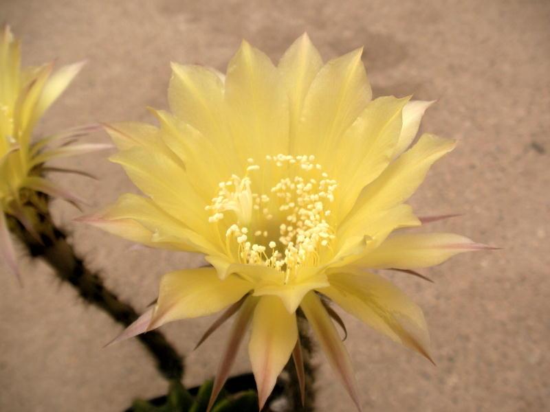 Echinopsis eyriesii 黄花短毛丸(交配種)