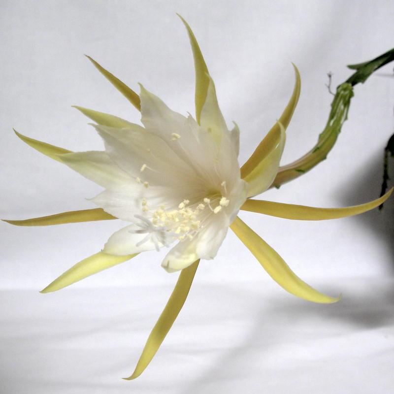 Epiphyllum anguliger flower