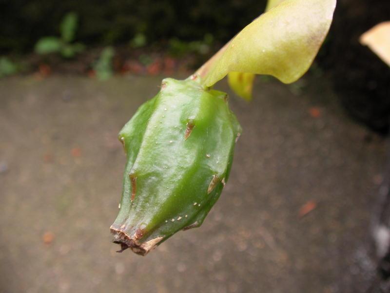 Epiphyllum darrahii fruits