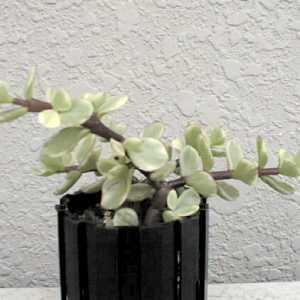 Portulacaria afra var. variegata