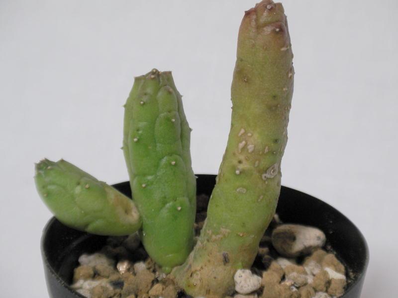 Huernia whitesloaneana