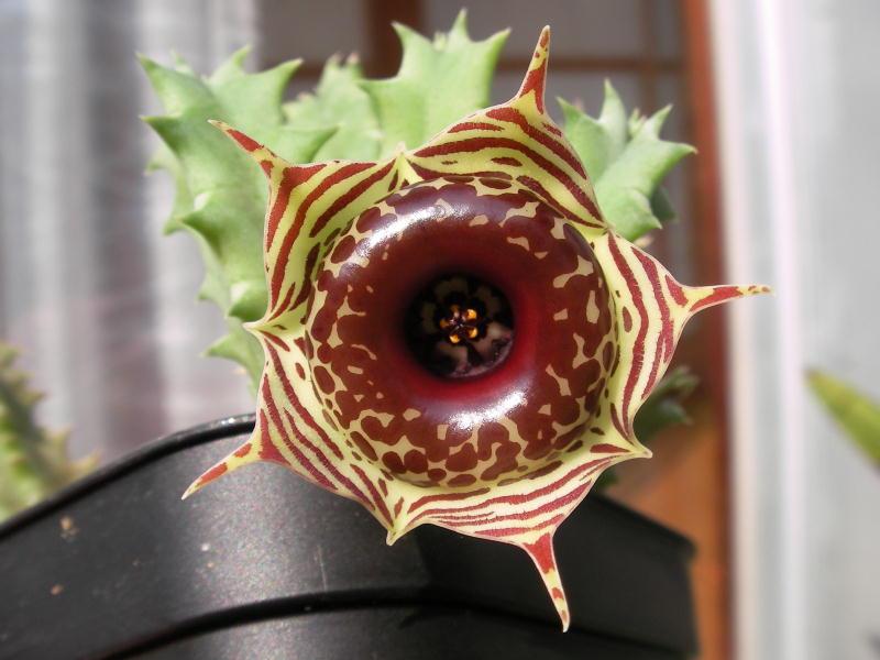 Huernia zebrina flower