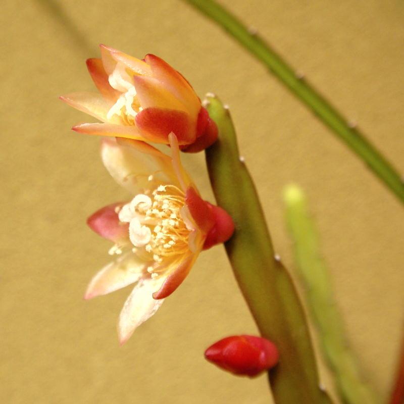 Lepismium bolivianum flower