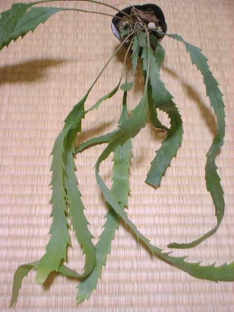 Lepismium houlletianum f. regnelli