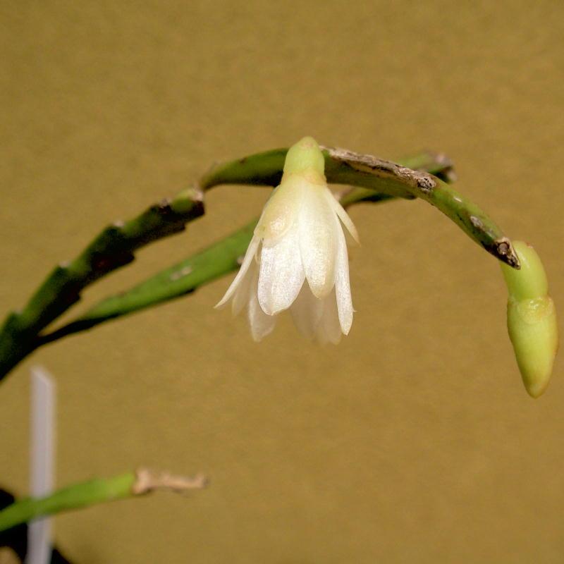 Lepismium warmingianum flower