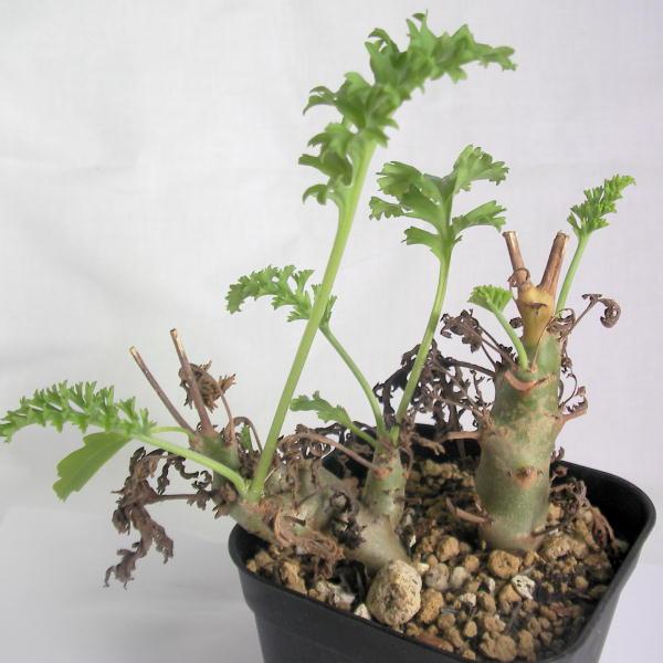 Pelargonium loxum