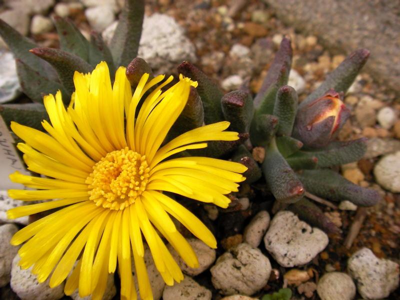 Rabiea difformis flower