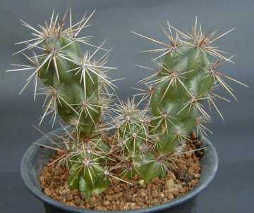 Corynopuntia invicta
