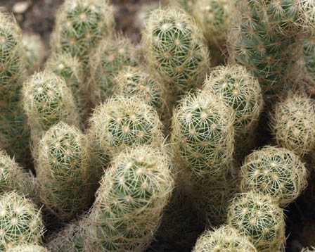 Mammillaria elongata var. subcrocea