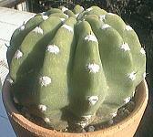 Echinopsis subdenudata