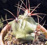 Ferocactus hystrix