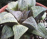 Haworthia picta