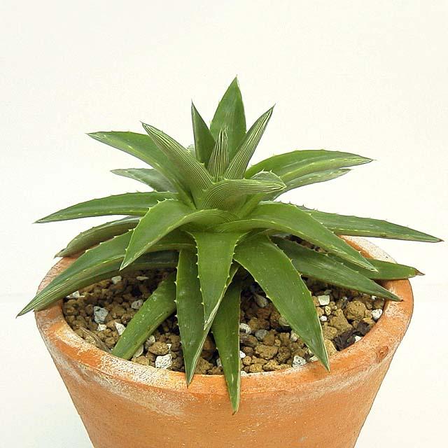 Dyckia brevifolia