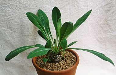 Euphorbia bupleurfolia