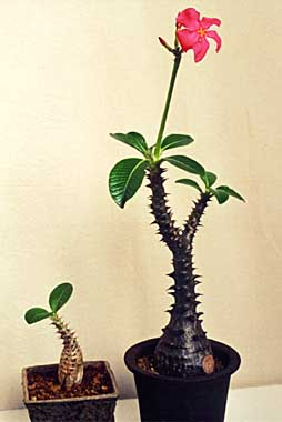 Pachypodium baroni var. windsorii