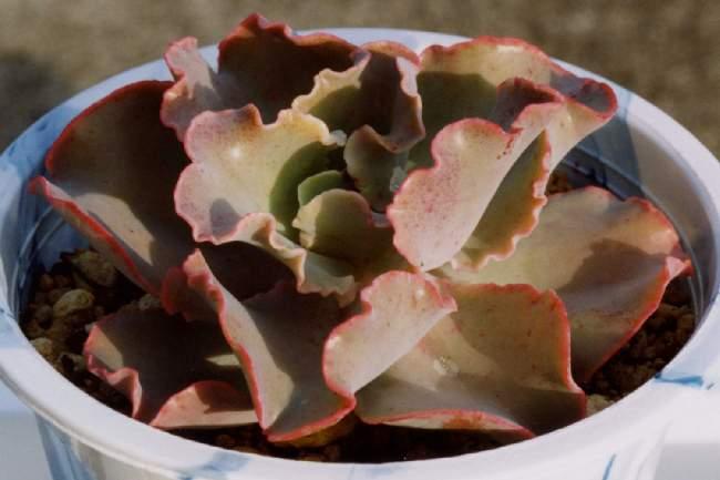 Echeveria cv. Takasagono-okina