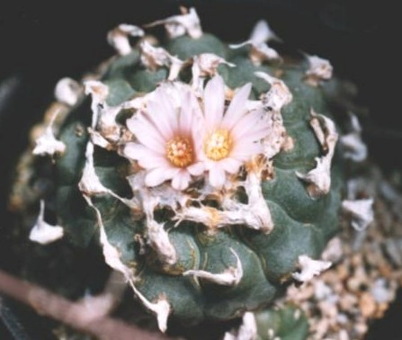Lophophora williamsii