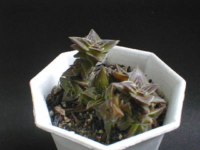 Crassula tabularis