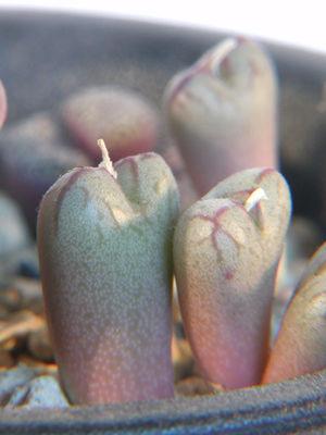 Conophytum marnierianum
