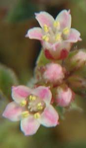 Crassula picturata flower