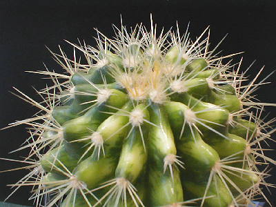 Echinocactus grusonii variegata