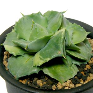Agave potatorum 'Ouhi Raijin' variegata
