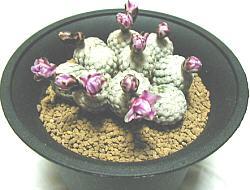 Turbinicarpus valdezianus スーパーバラ丸
