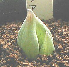 Bulbine mesembryanthoides