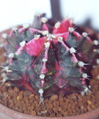 Gymnocalycium mihanovichii var. friedrichii 'Hibotan Nishiki'