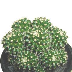 Mammillaria eichlamii