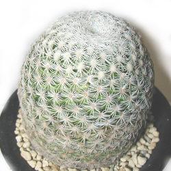 Mammillaria solisioides