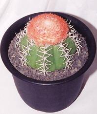 Melocactus matanzanus