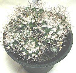 Turbinicarpus krainzianus