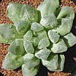 Haworthia obtusa var. pilifera