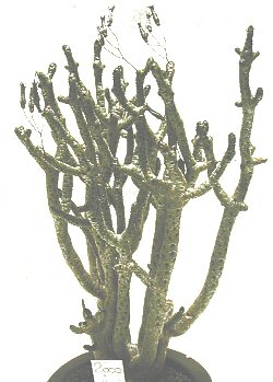Tylecodon buchholzianus