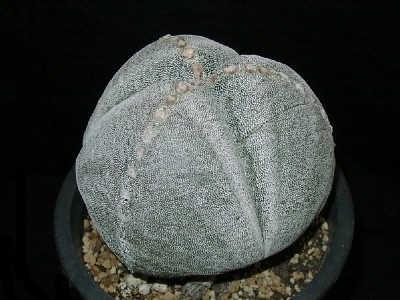 Astrophytum myriostigma var. tricostatum