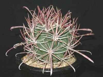 Ferocactus cylindraceus var. tortulospinus