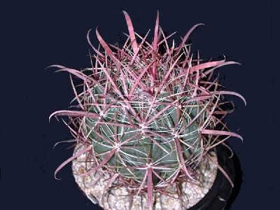 Ferocactus gracilis var. coloratus