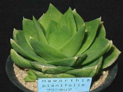 Haworthia planifolia