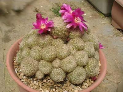 Sulcorebutia albissima