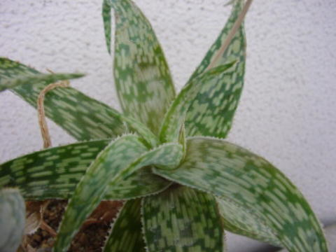 Aloe deltoideodontha