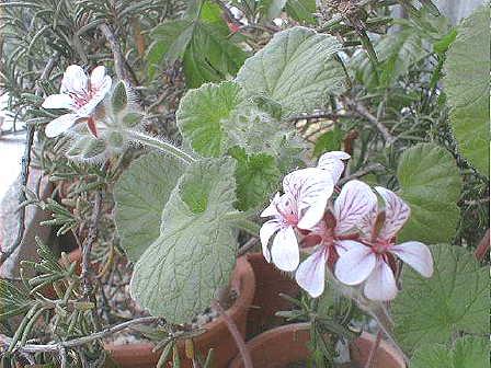 Pelargonium australe flower