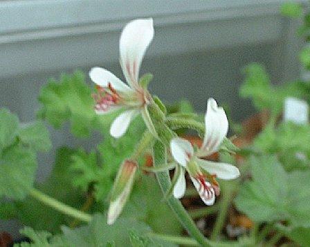 Pelargonium mollicomum flower