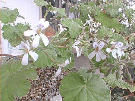 Pelargonium odoratissimum flower