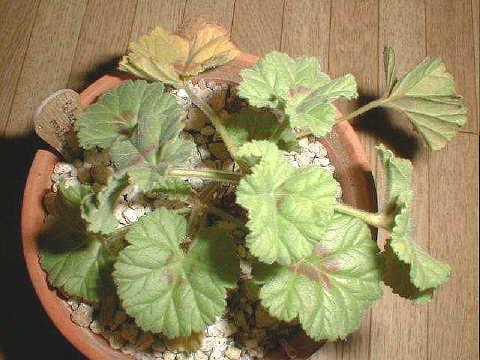 Pelargonium mollicomum