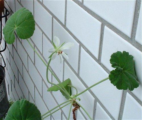 Pelargonium worcesterae flower